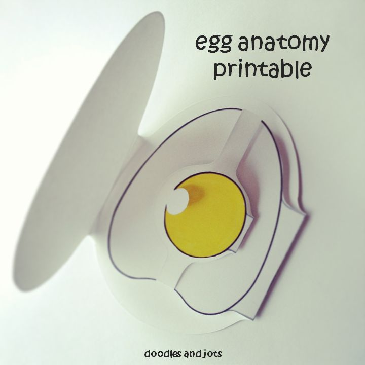 egg anatomy printable - DIY - kids science craft - also doubles as a greeting card! Wow! Easy simple cool.