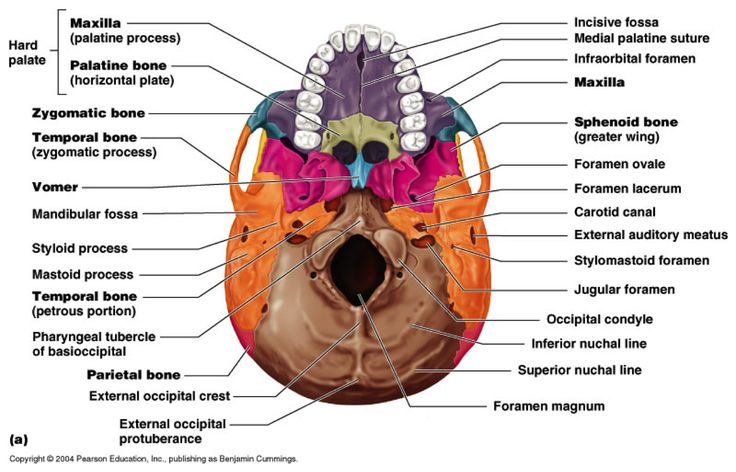 skull inferior view a p pinterest skulls. Black Bedroom Furniture Sets. Home Design Ideas