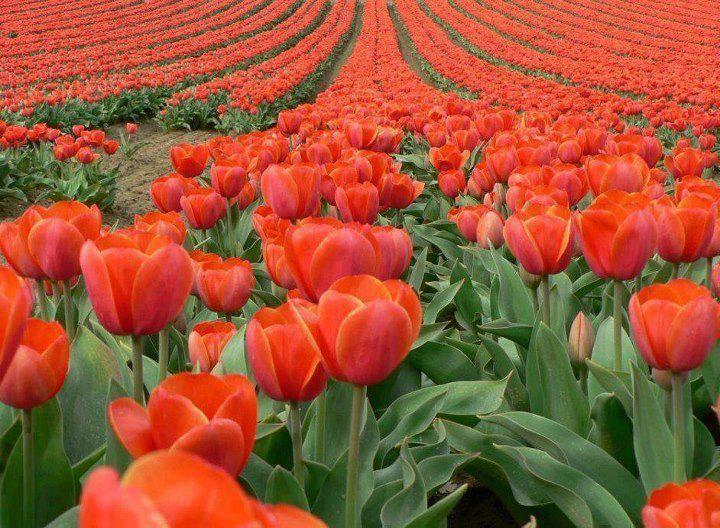 Beautiful Tulip Fields, Amsterdam, Netherlands