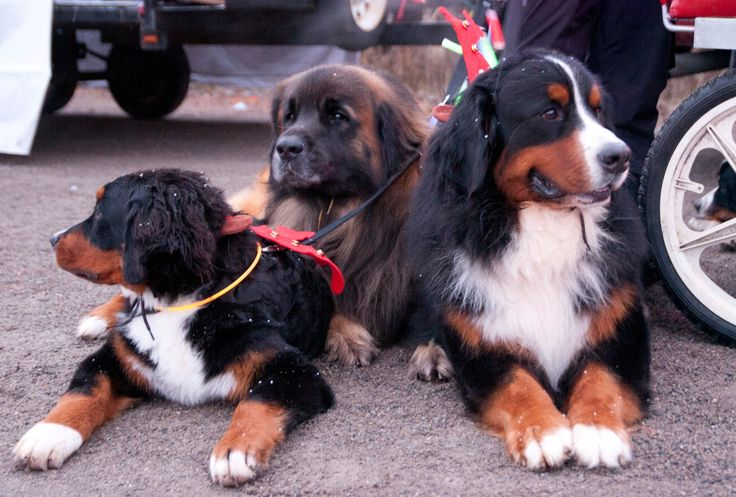 Bernese Mountain Dog Club - Night Parade in Port Perry