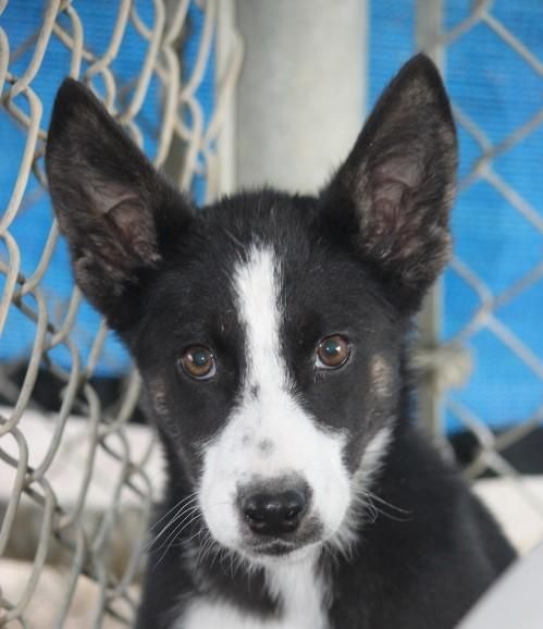 Sidra is an adoptable Collie searching for a forever family near Wynne, AR. Use Petfinder to find adoptable pets in your area.
