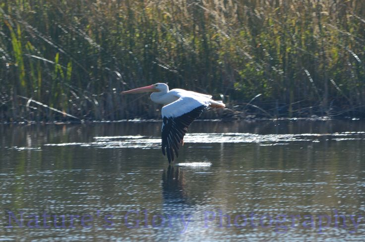 """Pelican Taking Flight""  While at an outlet to Klamath Lake, OR, he was taking off from sitting in the water.   www.etsy.com/shop/naturesgloryphoto"