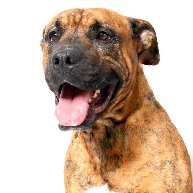 Meet Archie The Cutest Boxer Mix You Ever Did See Archie Is 2 Years Old Weighs About 76 Pounds And Has Unique Brindle Fur Wags And Walks Dog Adoption Archie