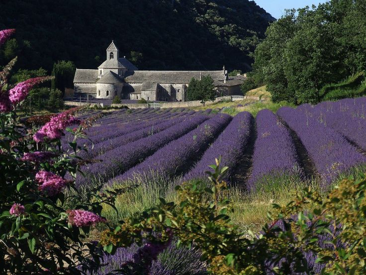 lavender field and Abbaye Notre-Dame de Sénanque,is a Cistercian abbey near the village of Gordes in the département of the Vaucluse in Provence, France.founded in 1148 under the patronage of Alfant, bishop of Cavaillon.Currently houses the Cistercian monks of the Immaculate Conception.The monks who live at Sénanque grow lavender .
