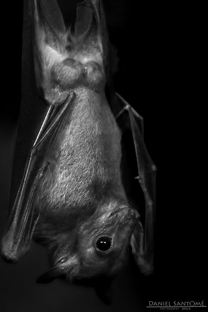 """""""Darkness"""", fotografía de uno de los murciélagos del Vigozoo, posado boca abajo en la oscuridad de su recinto."""