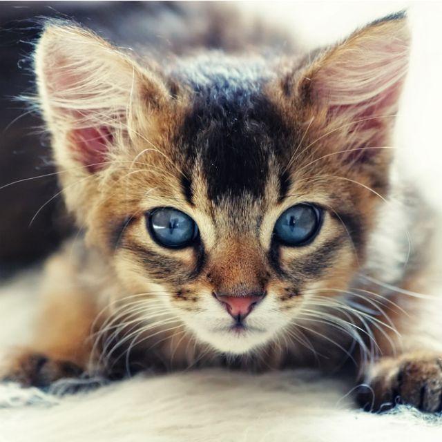 Goregeous Ruddy Somali Kitten ~ http://ourbeautifulworldanduniverse.com/cats.html