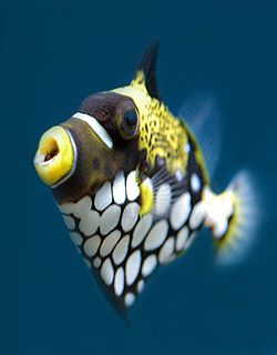 Clown Trigger Fish, looks like a fabric pattern for a dress