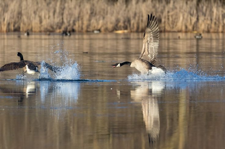 Fighting for territory.  The left goose just landed, but was quickly routed by the one on the right.  Photographed at the Murphy-Hanrehan Park Reserve in Savage, Minnesota.  http://www.DanielGodinPhotography.com