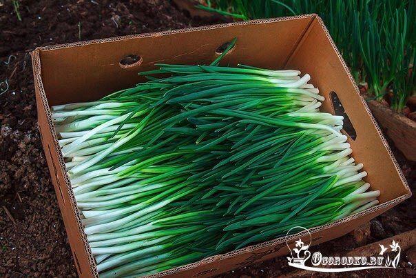 Выращивание лука на зелень    В листьях лука витаминов в 2-3 раза больше, чем в луковице. Что особенно важно ранней весной.    Сажают луковицы ранней весной, поэтому грядку лучше приготовить заранее — осенью. Перед посадкой крупные луковицы обрезают «по плечики», что дает «пышность» и ускоряет отрастание листьев. Земля должна быть достаточно рыхлой, нельзя вдавливать репку в уплотненную почву, это задерживает развитие корней. Иногда луковицы даже приподнимаются на корнях и как бы вылезают из…