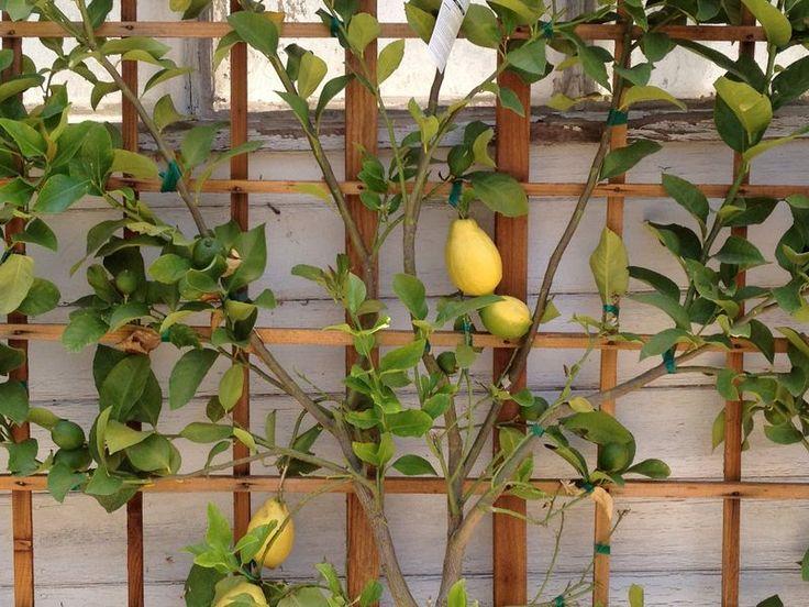 349 Best Espalier Images On Pinterest   Garden Ideas, Espalier Fruit Trees  And Backyard Ideas