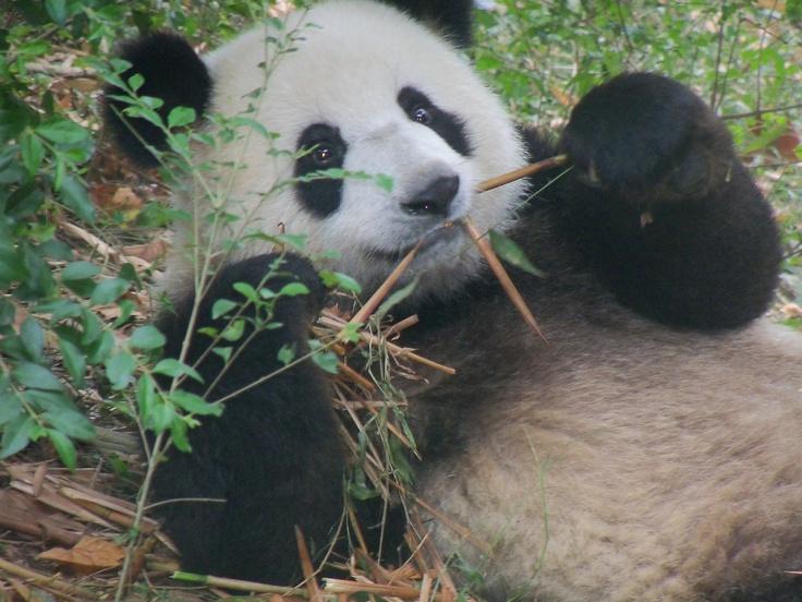 Hungry panda at the Panda Park in Sichuan.: Pandas Parks,  Pandas Bears, Hungry Pandas, Giant Pandas