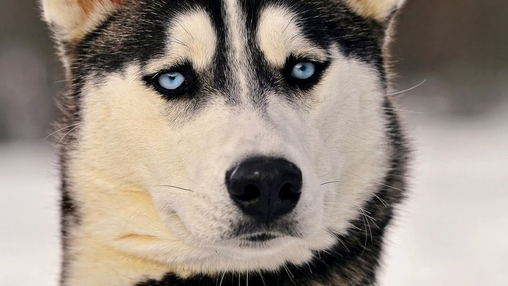 husky dog breeds wallpaper for mobile