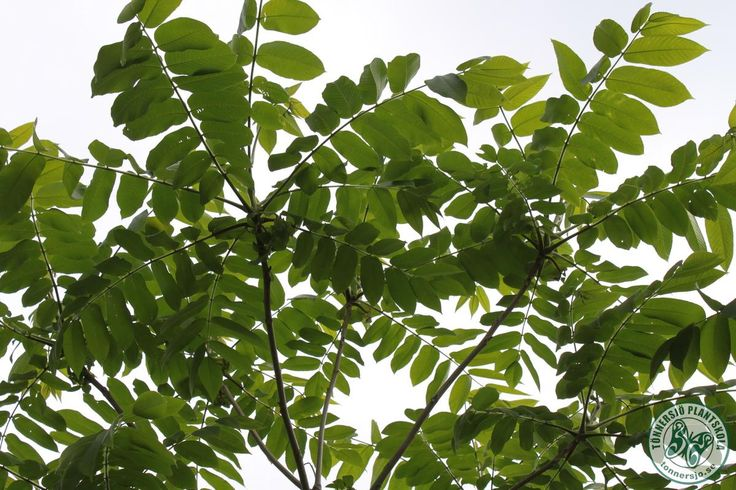 Det manchuriska valnötsträdet är den nordöstasiatiska motsvarigheten till grå valnöt.  Arterna är mycket lika till utseende och användningsområde