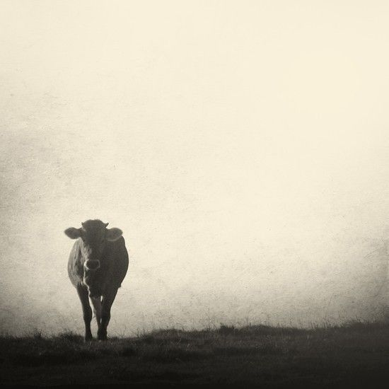 "Black and white cow . ""Rencontre"". Fine art photography print. 8x8 (20x 20cm). $35.00, via Etsy."
