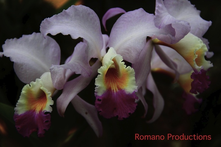 Colombian Orchids.  Come and visit us at www.going2colombia.com