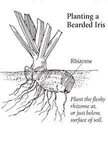 Planting and growing Bearded Iris