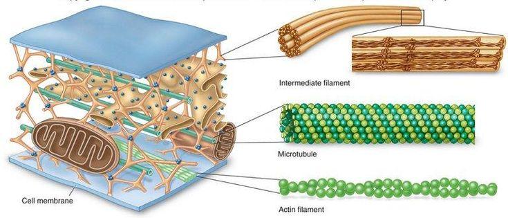 citoesqueleto composicion