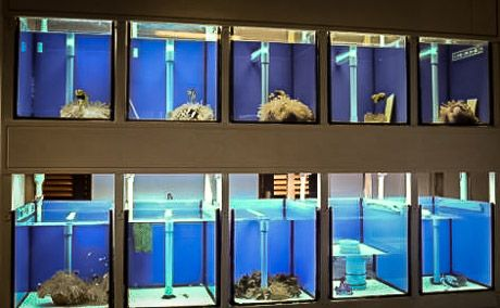 Clownfish breeding pairs in our fish lab aquarium design for Fish breeding tank