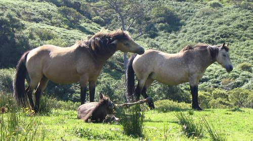 Irish hobby, extinct breed gave rise to connemara. eq-connemara.jpg (500×279)