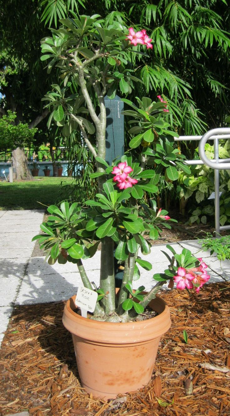 Full Garden In Backyard: 98 Best Desert Rose Images On Pinterest
