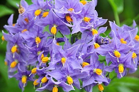 The Chilean Potato Tree Solanum Crispum Glasnevin Belonging To Family Solanaceae It Has Deep Purple Blue Slightly Scented Flowers