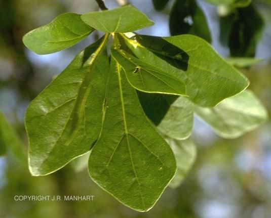 Quercus nigraQuercus Nigra