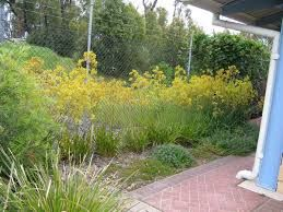 Image result for kangaroo paw in landscaping