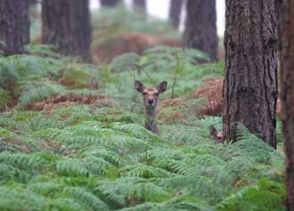Sika hind and part-hidden youngster