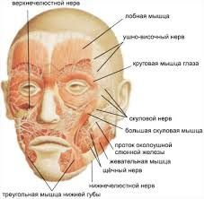 Resultado de imagen de анатомия лица