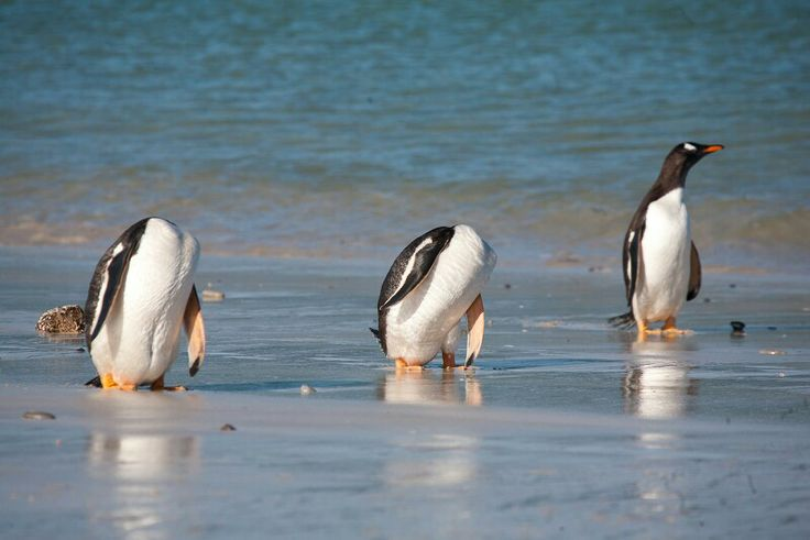 Headless penguins.  Ok, they were scratching their bums. :)  (Falkland Islands)
