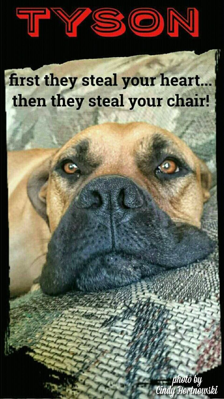 Dogs steal your heart, Boerboel
