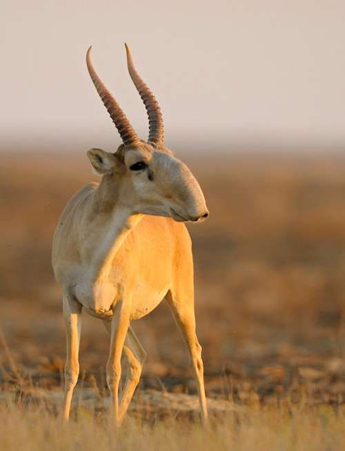 The saiga antelope is one of the world's most ancient living mammals, having shared the Earth with saber-toothed tigers and woolly mammoths, 250,000 years ago. The antelope is now critically endangered due to poaching for it's horn, which is prized in Chinese traditional medicine.  Photo by Klaus Nigge