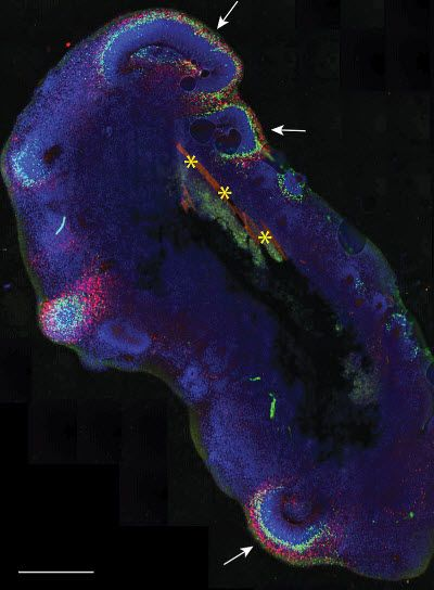 2017- a new method that combines the organoid method with bioengineering. The researchers use special polymer fibers made of a material called PLGA) to generate a floating scaffold that was then covered with human cells. By using this ground-breaking combination of engineering and stem cell culture, the scientists are able to form more elongated organoids that more closely resemble the shape of an actual human embryo. By doing so, the organoids become more consistent and reproducible.