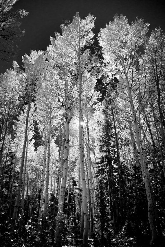 B&W; Aspen trees - I bought this print and LOVE it!!  It's going in my dining room once I get it matted. <3
