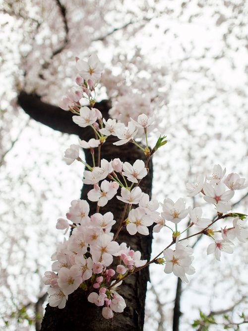Hacer flores con plástico blanco y decorar árboles secos, para darles vida y alegría.
