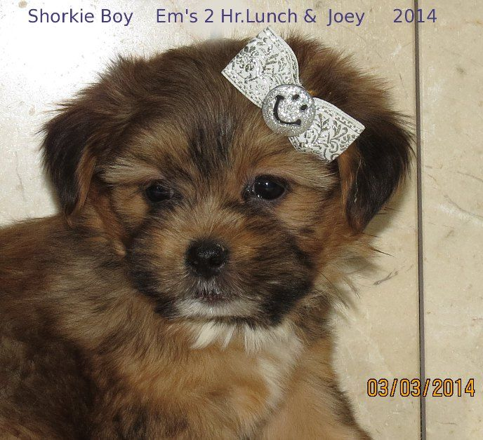 www.ohpuppylove.com- morkie, shorkie, maltipoo,breeder,puppies ...