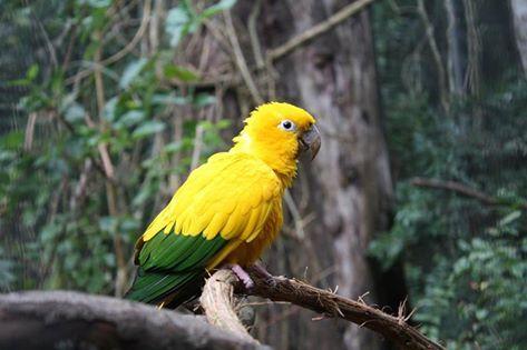 A Ararajuba é uma ave da família dos Psitacídeos, que inclui as araras, papagaios, periquitos e jandaias. Sua coloração viva, em amarelo-gema e verde-bandeira, sugeriu essa ave como símbolo nacional, inclusive por serem os Psitacídeos aves características de ambientes tropicais.