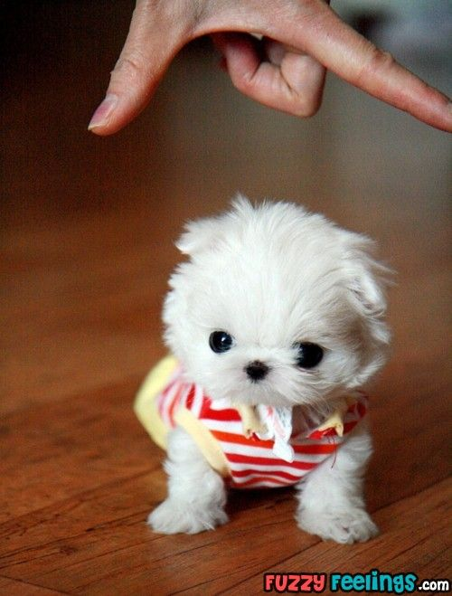 Too cute...now if she stay this size I will take one!  Maltese Terriers, Cutest Puppy, Maltese Dogs, Maltese Puppies, Little Puppies, Teacup Maltese, Malt Dogs, Teacups, Tiny Puppies