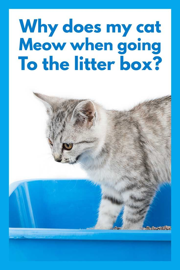 Why Does My Cat Meow When Going To The Litter Box Litter Box Cat Crying Cats Meow