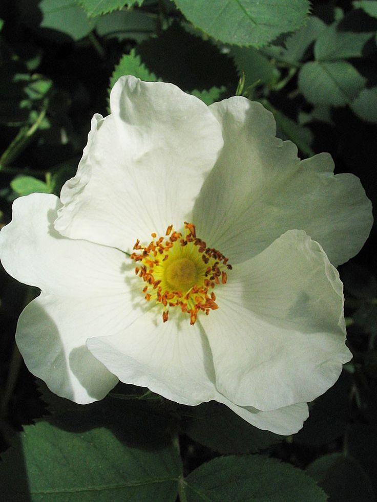 Rosa Alba 'Gudhem'   Buskros, Albaros, som blommar i juli med enkla vita blommor med gul mitt. Doftar milt av äpple och citron. Får rikligt med långsmala nypon på hösten. Lättodlad och härdig. Påträffades på 1980-talet norr om Falköping nära byn Gudhem, känt för sitt nunnekloster som grundades 1161. Zon 1-7.