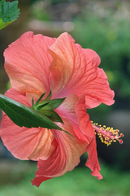 Hibiscus: Flowers Gardens, Favorite Flowers, Pretty Colors, Gorgeous Plants, Hawaii Hibiscus, Hibiscus Flowers, Coral Hibiscus, Beautiful Flowers, Coral Colors Hibiscus