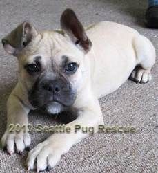 Odette is an adoptable Pug Dog in Bellevue, WA. Odette Sex: Female Color: Fawn Age: 3 months Odette is a 3-month-old fawn female mix, probably pug and French bulldog. She is quite large for her age. O...