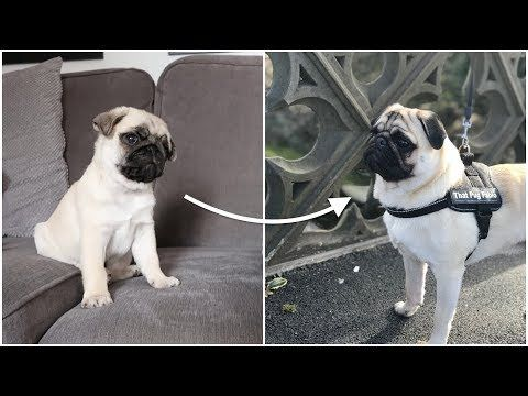 Pablo From 3 Weeks To 1 Year Old Youtube Pugs 1 Year Olds