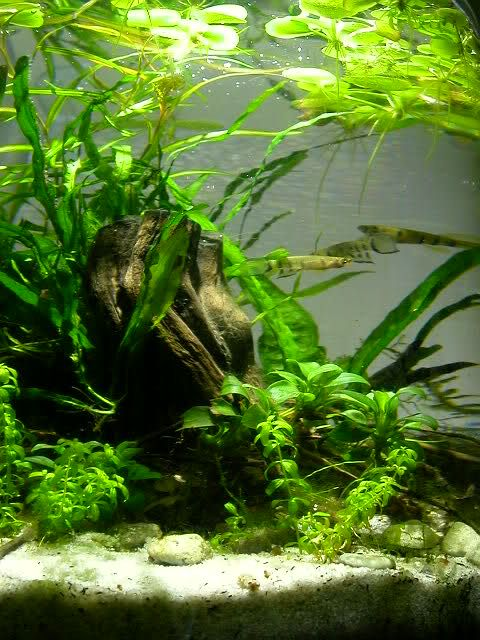24 best tropical fish tank images on pinterest fish for California fish planting