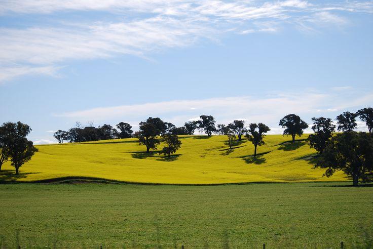 Canola Fields, Cowra, New South Wales