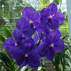 HV19 Orchid Plant Vanda Pachara Delight BS