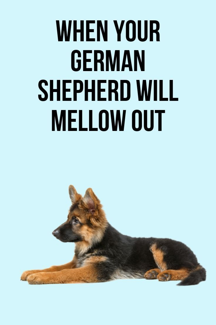 This Post Will Show You When Your German Shepherd Will Mellow Out
