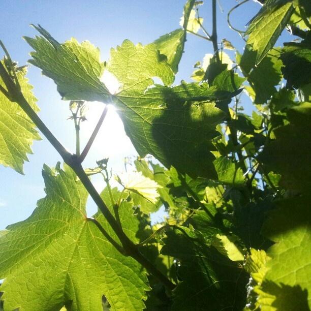 #V13 SUNSHINE into WINE
