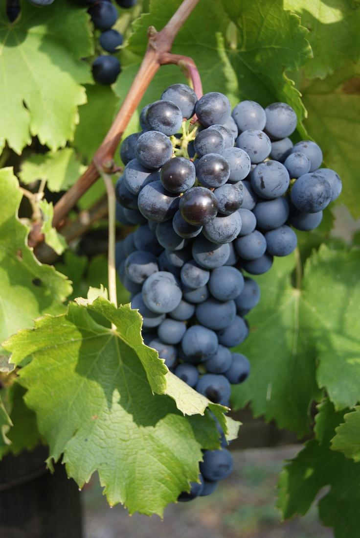 Il buon Vino si fà alla Vigna!(Grapolo di Avanà)