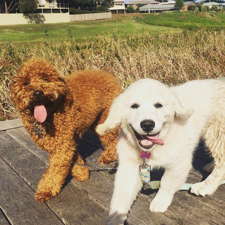 #goldenretriever #puppy #cavoodlesofinstagram #besties #dogsofinstagram #dogs3280 #destinationwarrnambool #petnannie #doggydaycare #happiness #sunshine #puppies by petnannie